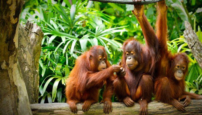 Orangutans at the Sepilok Orangutan Rehabilitation centre in Borneo
