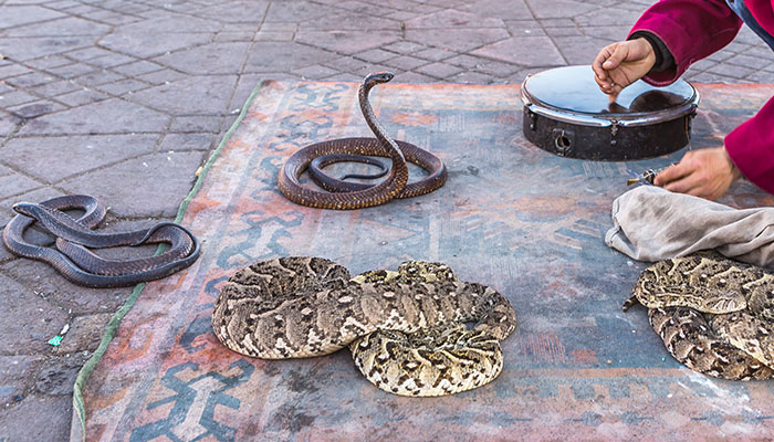 Four snakes on the ground in Morocco