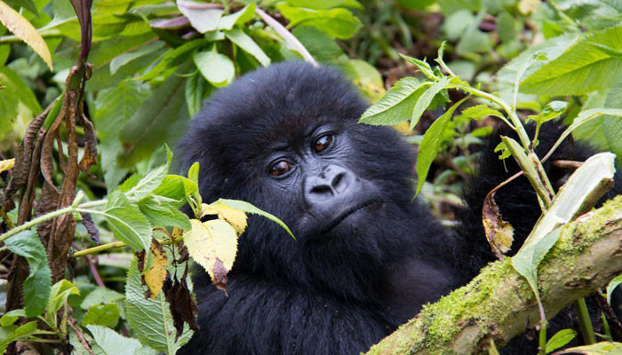 mountain-gorillas---amanda-2