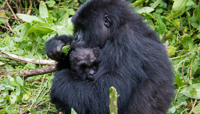 mountain-gorillas---amanda-3