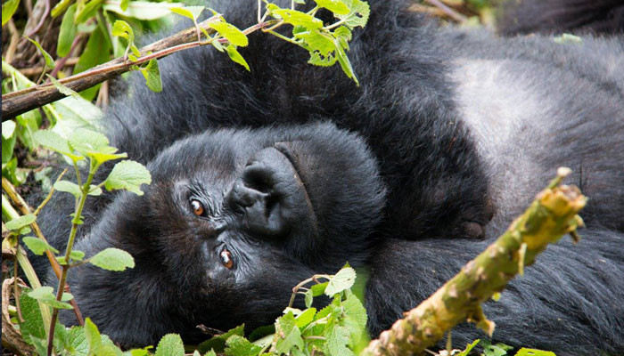 mountain-gorillas---amanda-5