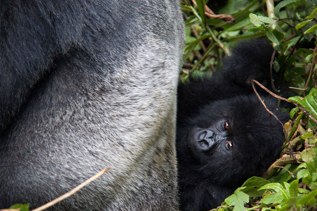 what it s really like to see mountain gorillas in rwanda peregrine