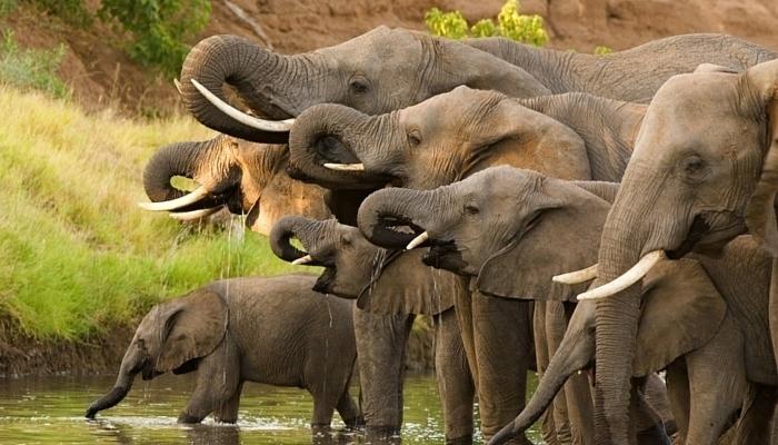 africa_elephants