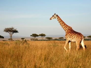 rsz_africa_giraffe_ss_13050973