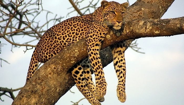 africa_leopard