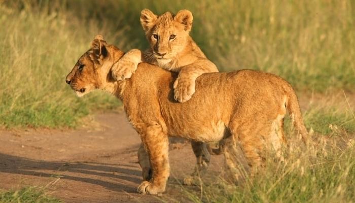 africa_lioncubs