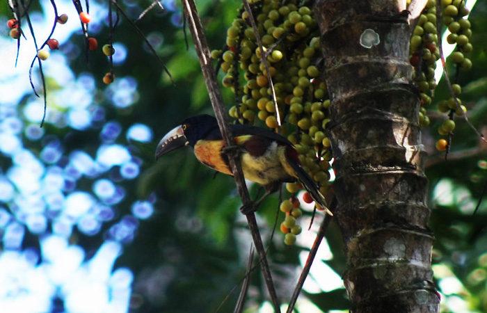 Costa Rica group tour ,-toucan---daniel-mannerich