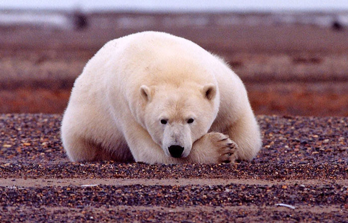 Polar-bear-arctic---US-Fish-and-WIldlife-Service