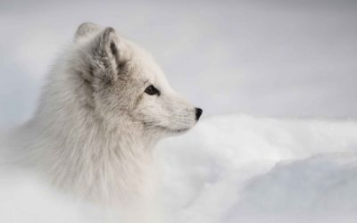 Canadian Arctic trip ,-arctic-fox