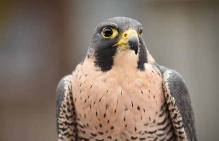 Canadian Arctic Trip ,-peregrine-falcon