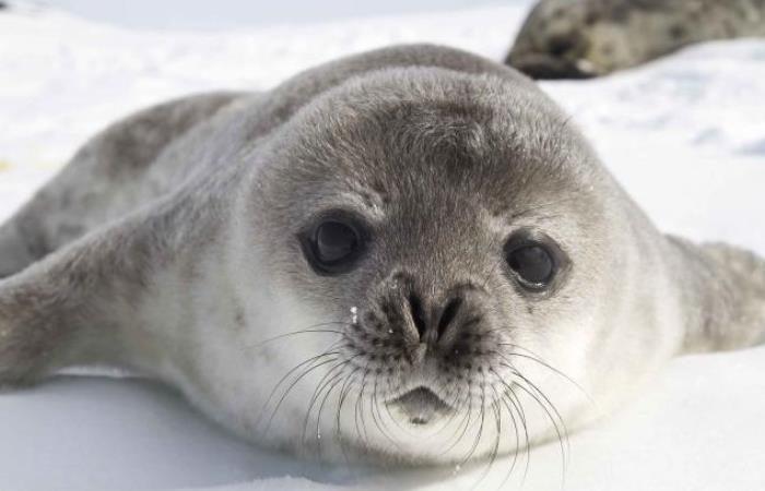 Canadian Arctic trip,-seal-pup