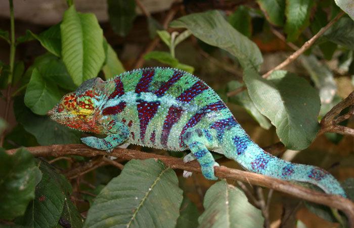 madagascar-chameleon-martha-de-jong-lantink