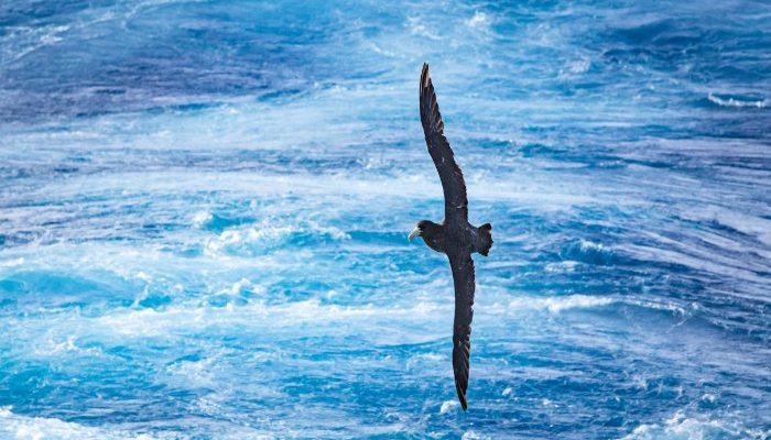 Southern Giant Petrel in Drake Passage