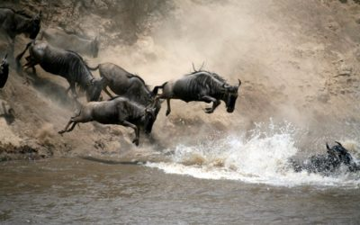 Wildebeest cross a river in the Great Migration