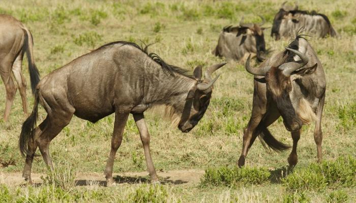 Wildebeest battle in Tanzania