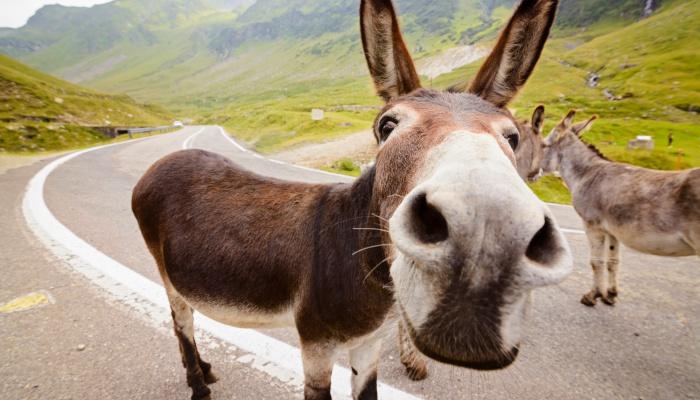 Donkeys on Transfagarasan Road