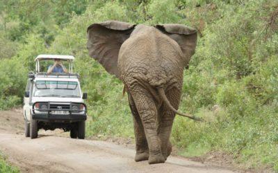 African elephant in Tanzania