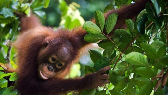 A young orangutan swings through the trees