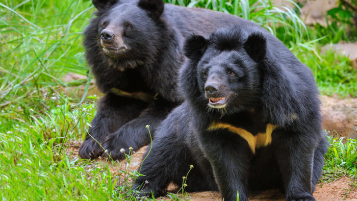 Two moon bears in China