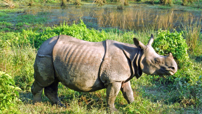 A rhinoceros in Chitwan National Park