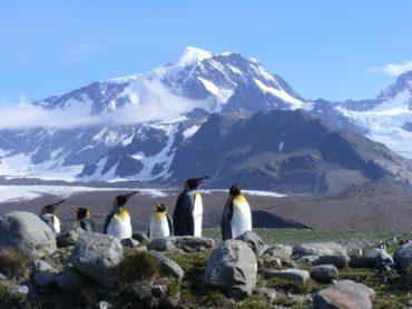 penguins on South Georgia