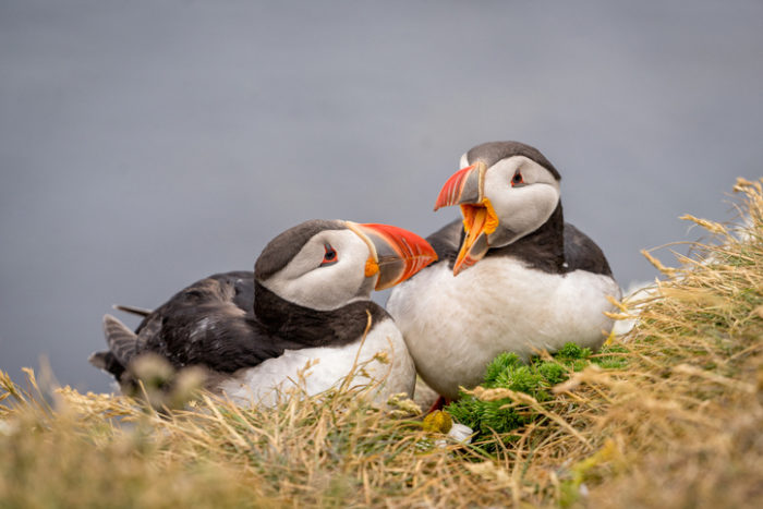 Iceland's Westfjords puffins
