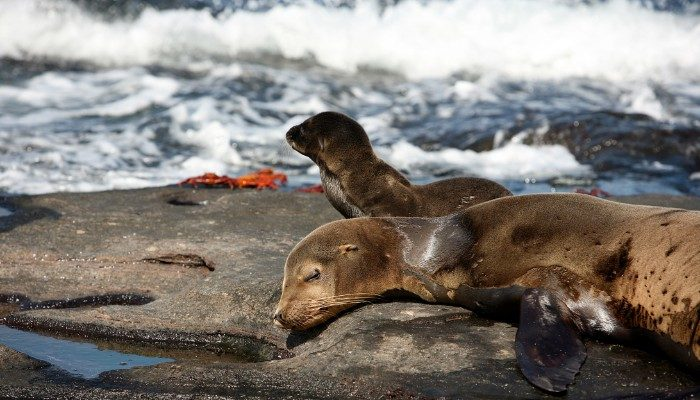 Sea lions in the Galapagos Islands in August