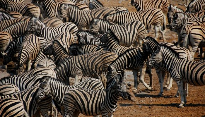 Herd of zebra in Botswana