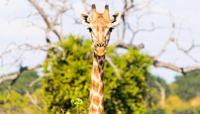 Giraffe on safari in Botswana
