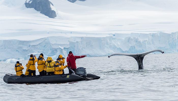 Humpback whale's tale.