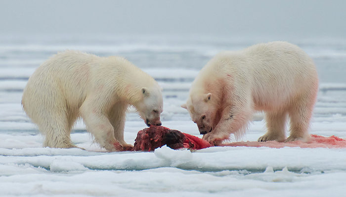 Two polar bears feeding.