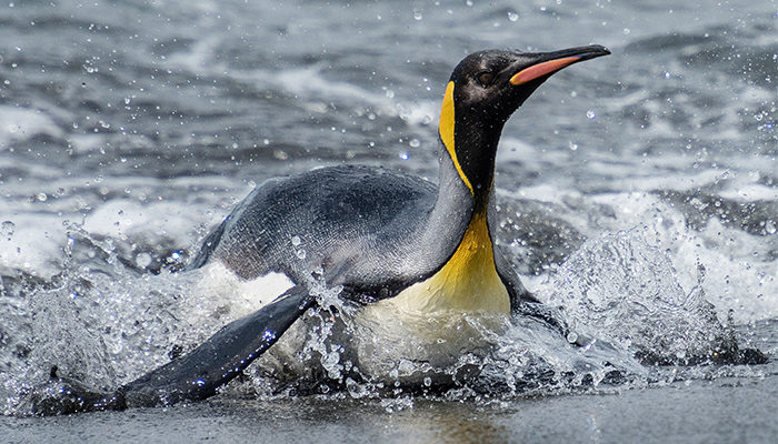 A surfing king penguin.