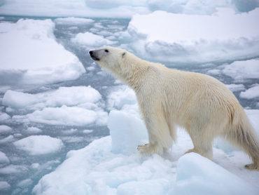 Polar bears in Svalbard.