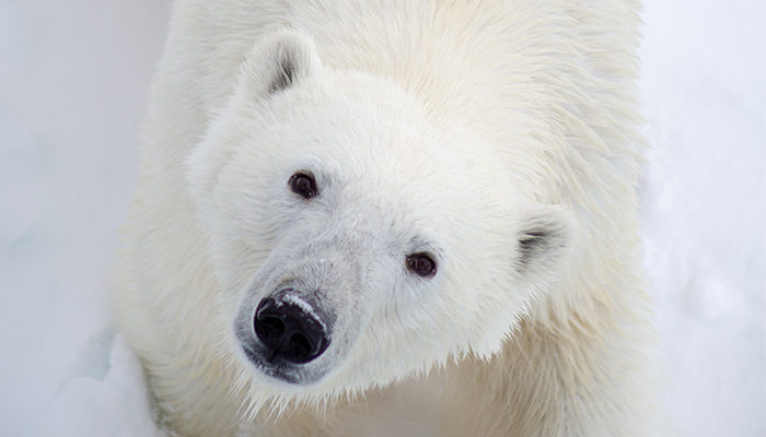 Polar bear looks up at photographer.