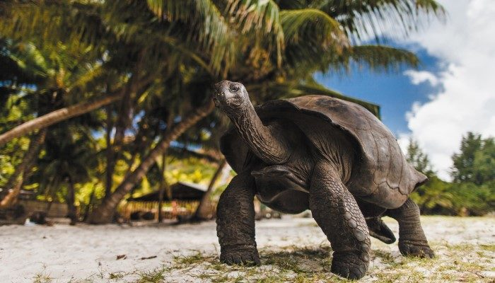 Giant tortoise on the Seychelle Islands