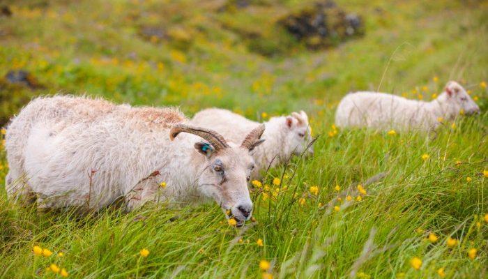 Three sheep eating grass