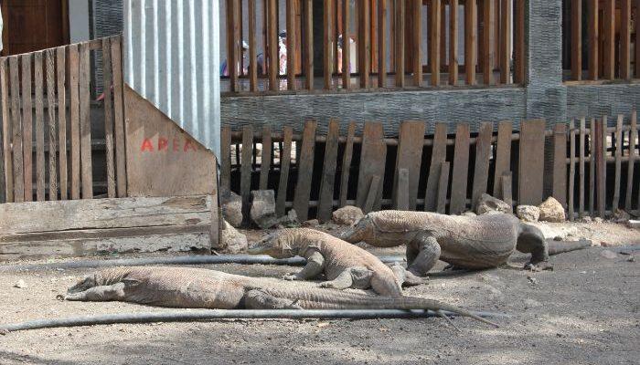 three Komodo Dragons lying on the ground