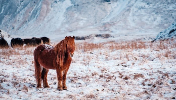 A horse standing in a snowy field in Iceland