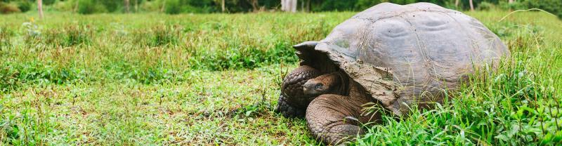 Giant Tortoise, Galapagos Islands