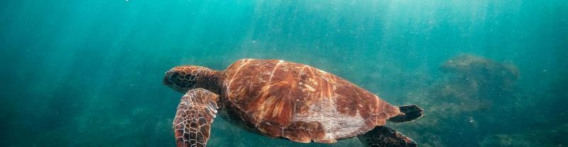 Galapagos-Isla-Floreana-devils-crown-turtle