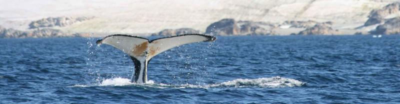 Antarctic sea whale