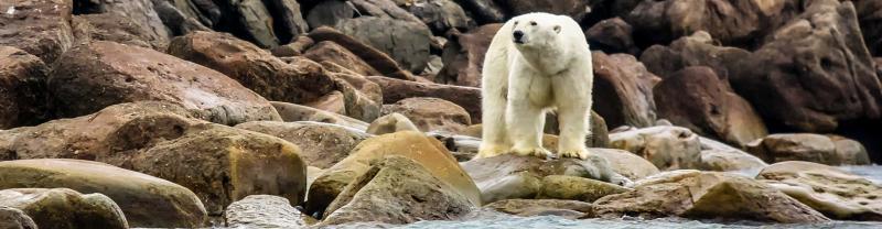 A polar bear patrols the coast of Novaya Zemlya in the Russian Arctic