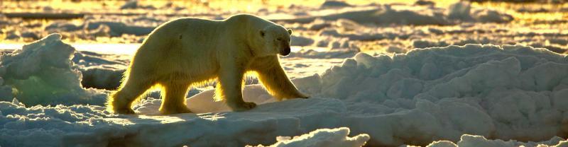 arctic-polar-bear-ice