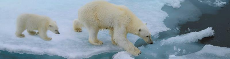 Canada Greenland Polar Bears