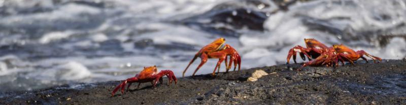Galapagos Crabs Shore