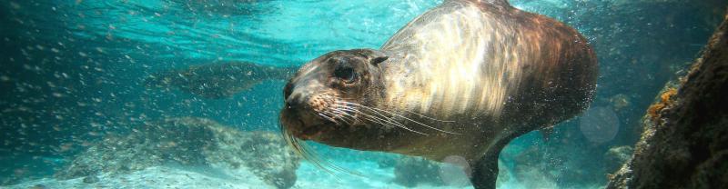 Galapagos Seal Underwater