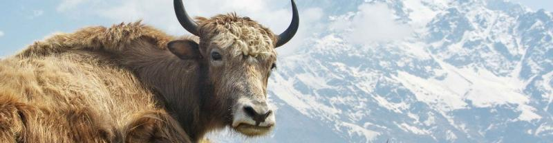 Nepal Yak Mountain