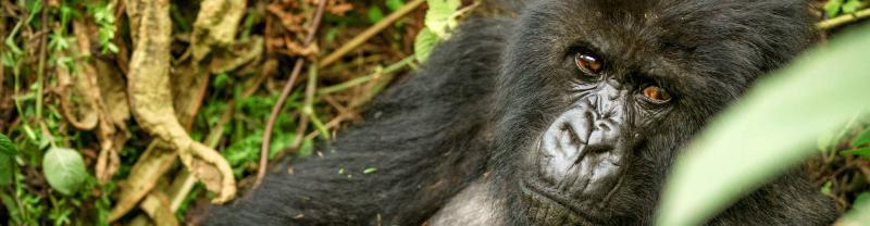 Rwanda Gorilla Adult Jungle