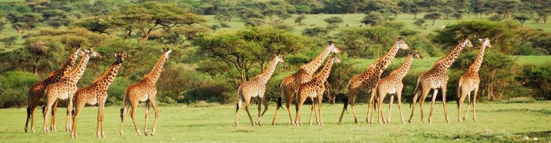 Tanzania Ngorongoro Crater Giraffes