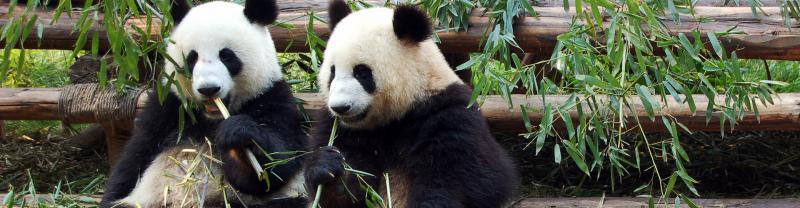 Panda Bears eating in Chengdu, China